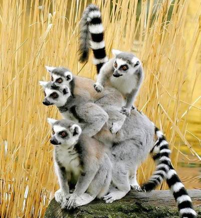 A leap of Lemur