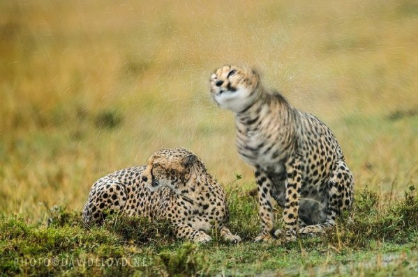 A very effective image of cheetahs in the rain by David Lloyd Wildlife Photography