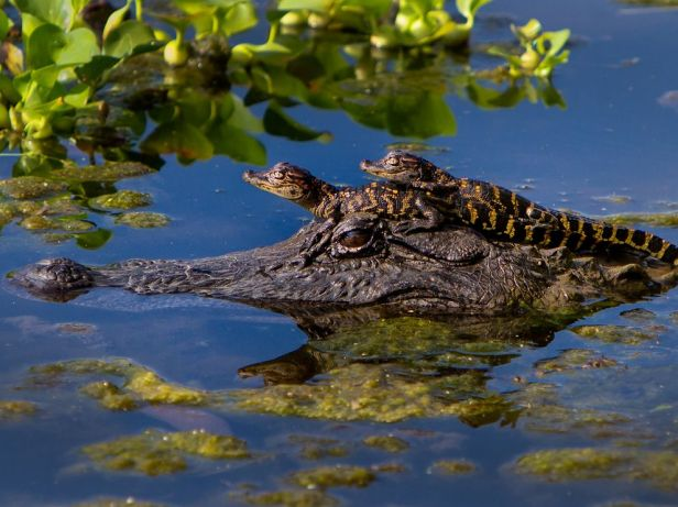 alligator-babies-texas_62971_990x742
