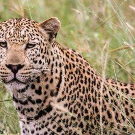 Amatshehlope male leopard near Phinda boundary