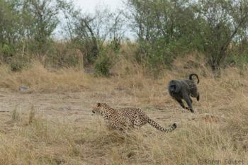 Baboon chasing leopard