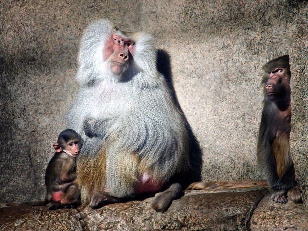 baboons-