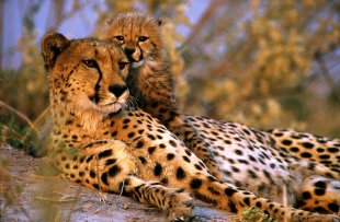 Baby cheetah with Mum at sunset - Selinda Game Reserve, Botswana by John Millbank