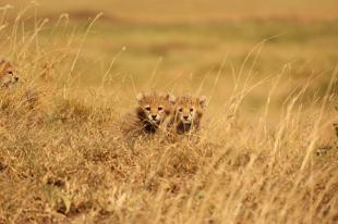 Baby cheetahs peeping from the grass