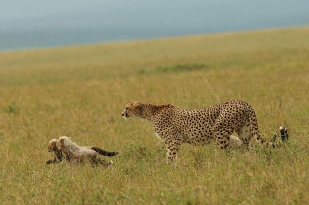 Baby cheetahs with Mommy, Masai Mara NR, Kenya
