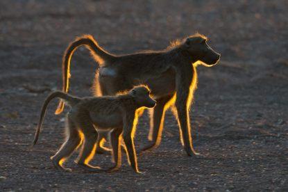 Bobbejaan - Isak Pretorius Wildlife Photography