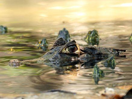caiman-turtles-guatemala_36874_990x742