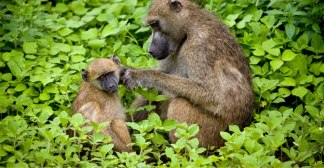 Chacma Baboon Mommy's Love, Chobe NP, Botswana