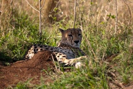 Cheetah - 5Oct12 Londolozi