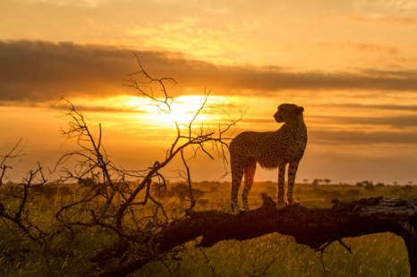 Cheetah at dusk