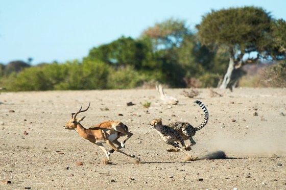Cheetah Chase Mashatu - Isak Pretorius Wildlife Photography