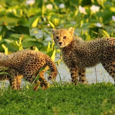 Cheetah cubs at Pinda by James Souchon