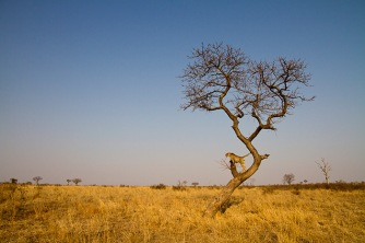 cheetah-in-tree-in-open-areas-looking-left