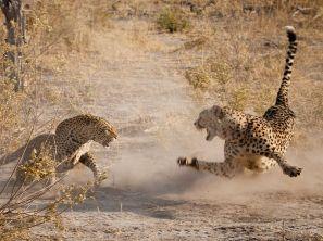 cheetah-leopard-botswana_62674_990x742