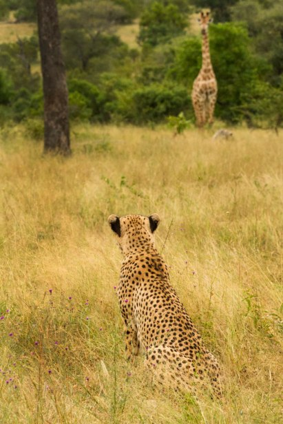 cheetah meets giraffe