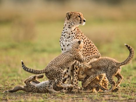 cheetah-mother-cubs-lanting_62975_990x742