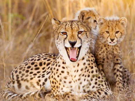 cheetah-mother-cubs_61068_990x742
