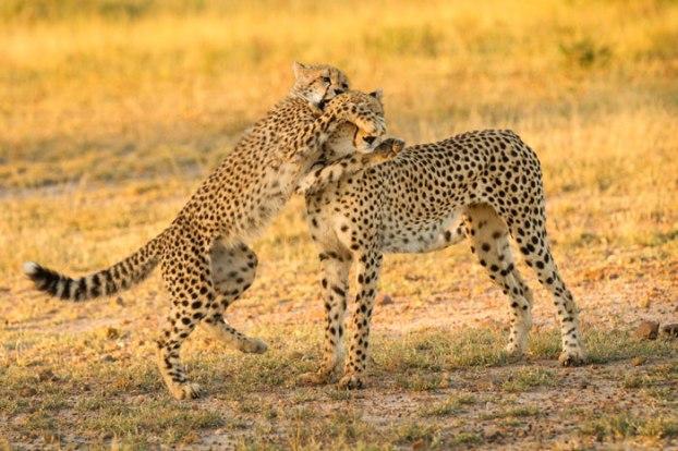 cheetah mum & cub