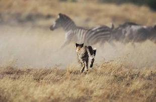 Cheetah runs to the zebra - Mara Serengeti