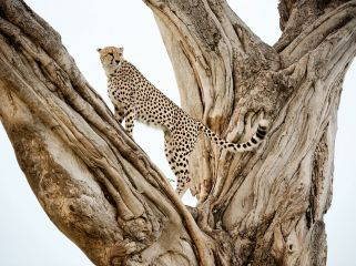 cheetah-tree-lanting_60067_990x742