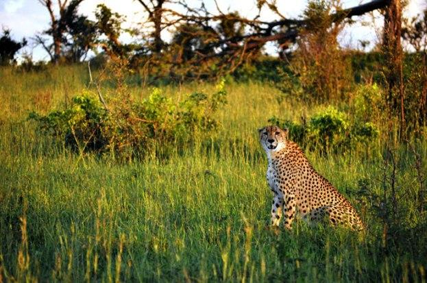 Cheetah3-blog