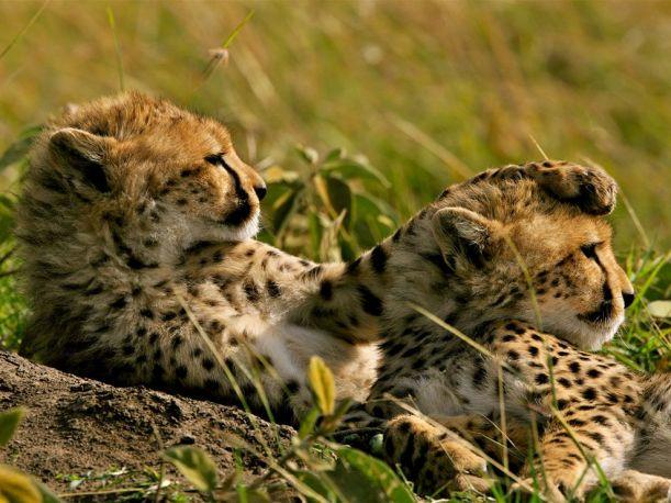 cheetahs-grass-kenya_22651_990x742