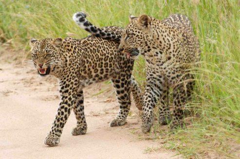 Chitwa Chitwa ee Thandi and cub