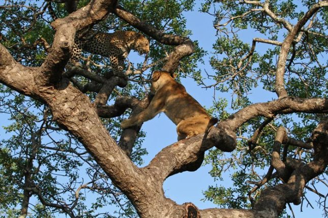Confrontation in a tree