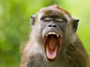 crab-eating-macaque-indonesia