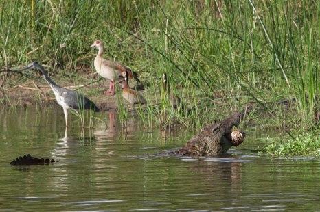 croc-and-tortoise-2