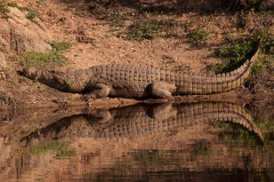Croc-perfect-reflection