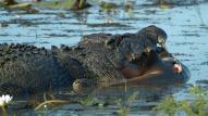 Crocodile eats shark @ Kakadu National Park, Australia
