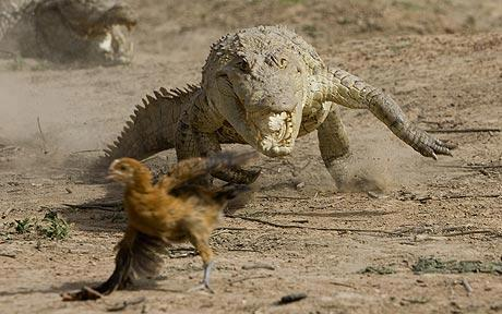 Crocs chasing chicken...