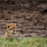 Cub at Phinda by Andrew Nicholson