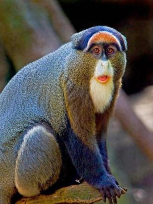 De Brazza's monkey (Cercopithecus neglectus) is an Old World monkey endemic to the wetlands of central Africa.