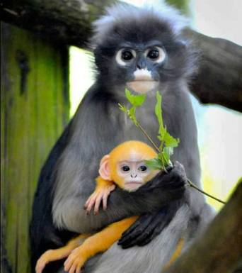 Dusky leaf monkey with beautiful baby