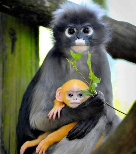 Dusky leaf monkey with beautiful baby