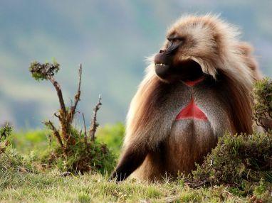 gelada-simien-mountains