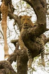 gowrie male with giraffe leg in tree