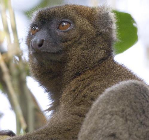 Greater Bamboo Lemur, Madagascar