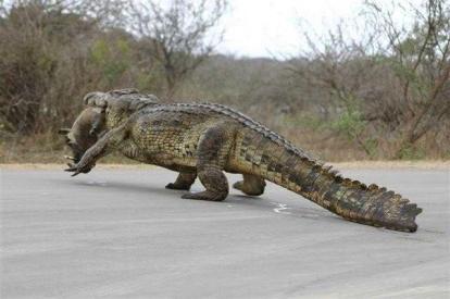 Huge Nile Crocodile with prey - Kelly Okavango