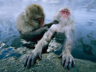 japanese-macaques-Nagano Prefecture