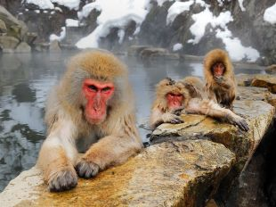 japanese-macaques-winter