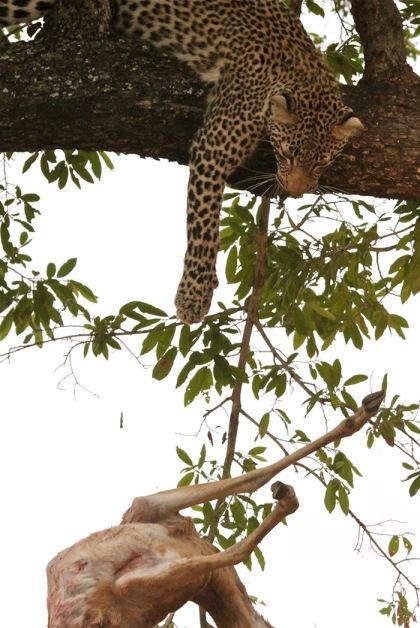 Leopard-dropping-impala
