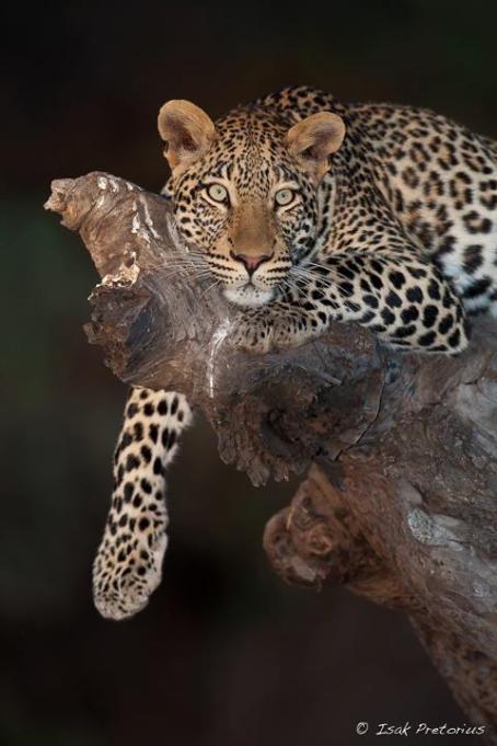 Leopard on a log (Africa, through my lens)