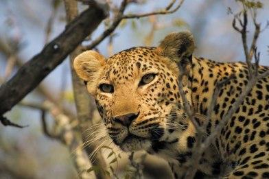 leopard-tree Singita