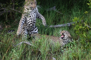 Mating-jump-Nyaleti and Gowrie male
