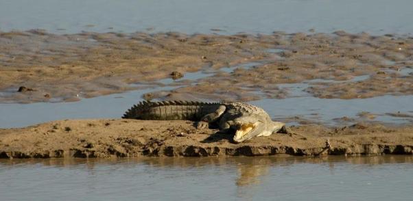 Nile crocodile @ Luangwa River, Zambia