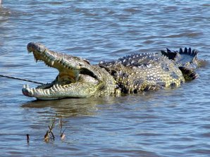 Nile crocodiles are among the fiercest predators in the Okavango Delta, Botswana