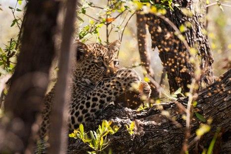 Piva-cub-with-elephant-dung - 5Oct12 Londolozi